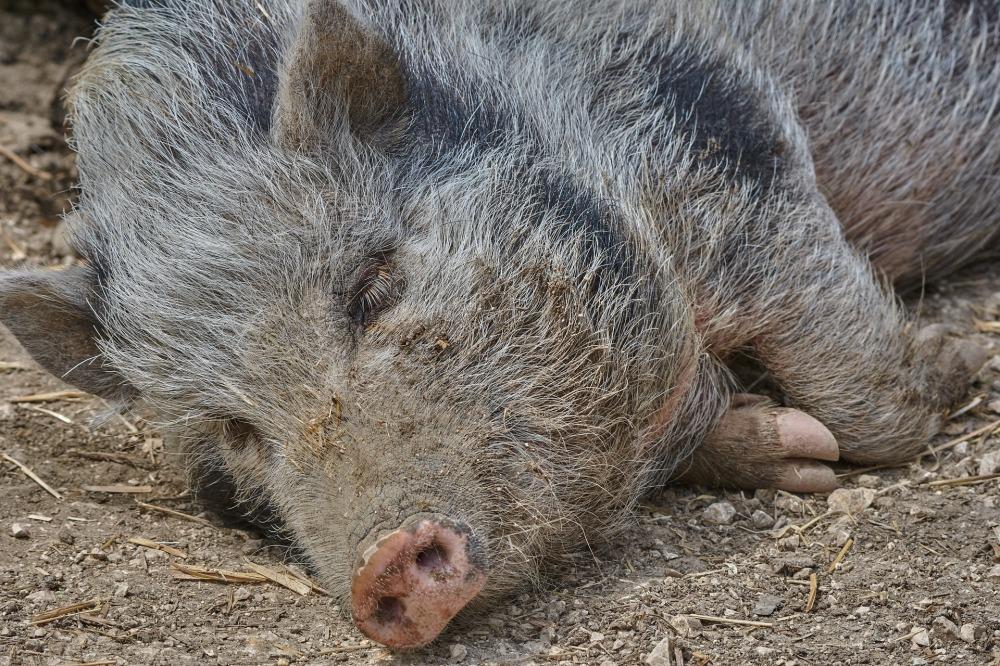 boar-3477576_1920