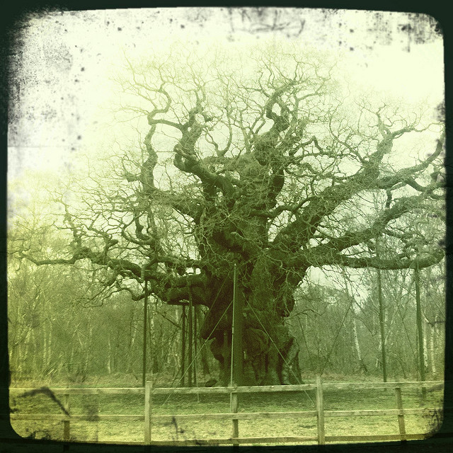 Major Oak (flickr.com)
