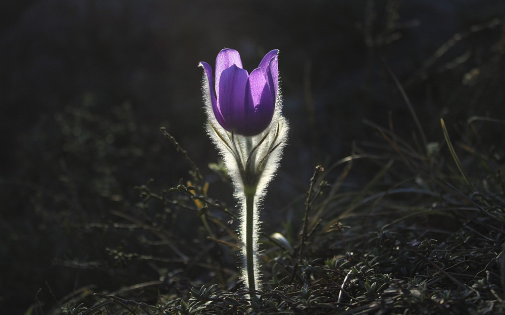 pasqueflower-1585303_1920
