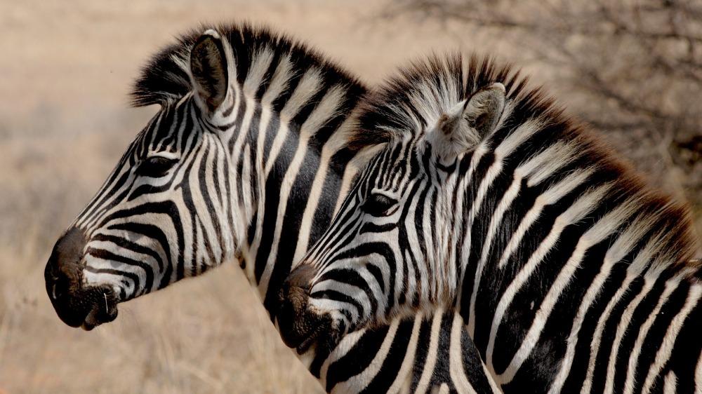 zebra-927272_1920