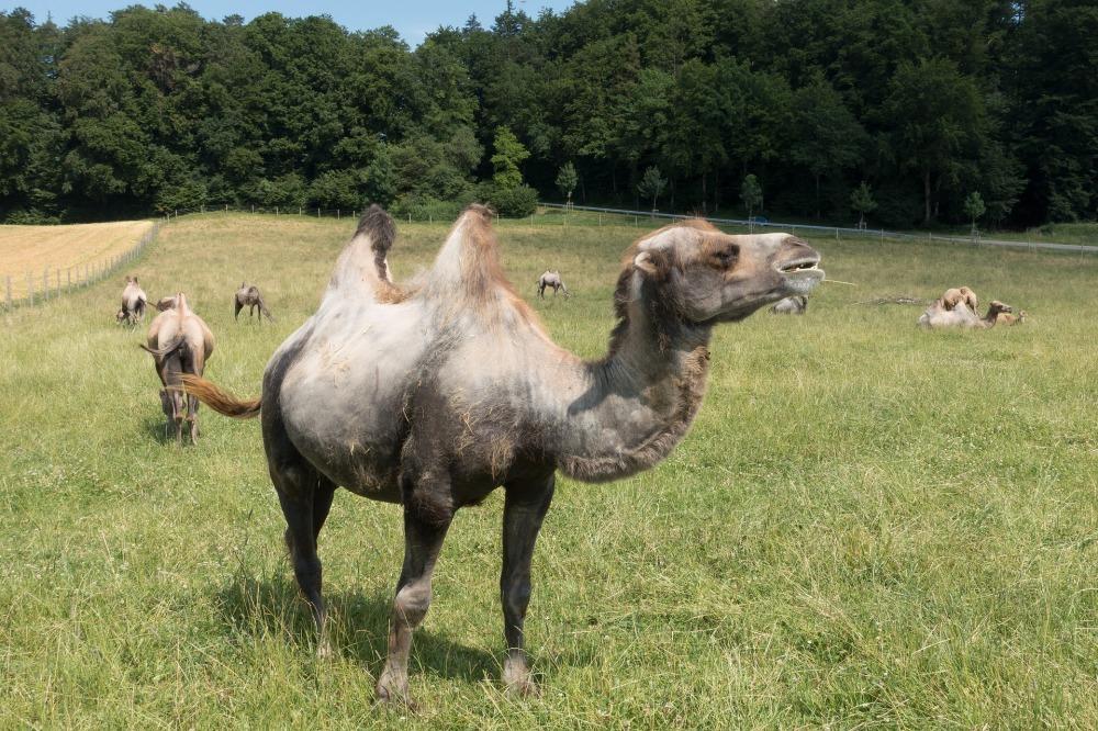 camel-2454243_1920 (1)